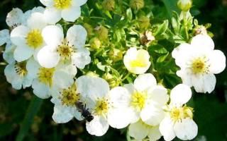 Лапчатки с белыми цветками