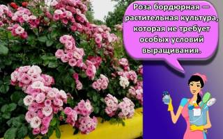 Посадка бордюрных роз в открытом грунте