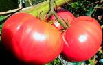 Семена розовых помидоров для теплиц