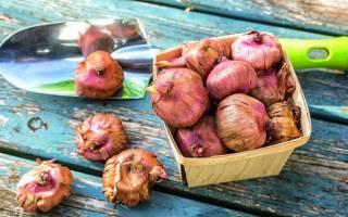 Как на даче сажать гладиолусы луковицы подготовка