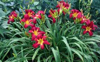 Лилейные цветы виды