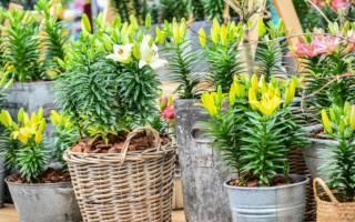 Лилии в горшках выращивание и уход