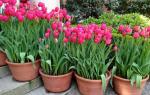Сорта тюльпанов для домашнего выращивания