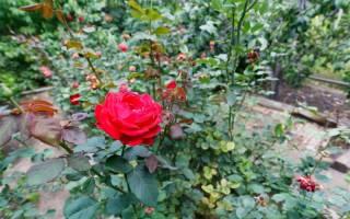 Роза продолжительность жизни