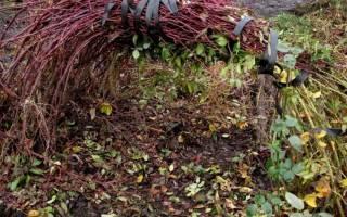 Укрытие плетистой розы зимой