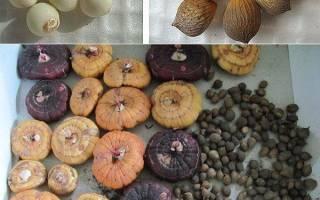 Все о выращивании гладиолусов из деток