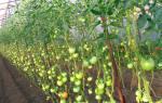 Помидоры высокорослые для теплиц урожайные