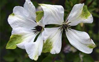 Клематис белый сорта