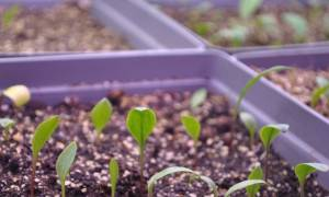 Как выглядят семена лилии фото