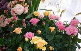 Роза комнатная виды, фото и названия