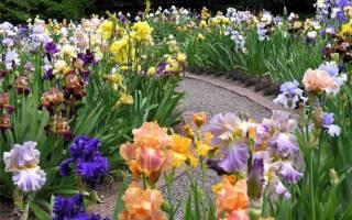 Использование ирисов в оформлении сада