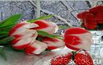 Как посадить тюльпаны на выгонку