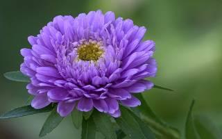 Выращивание астры чтобы цветы с большими бутонами