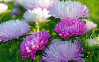 Астры на фото наиболее эффектные сорта цветка