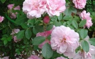 Теплолюбивые сорта роз особенности зимовки