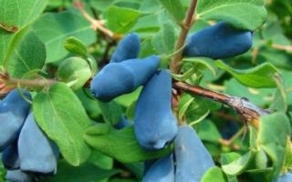 Жимолость голубое веретено описание сорта фото