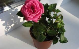 Фото розы дома