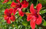 Чем подкормить китайскую розу для цветения