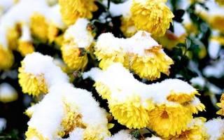 Как сохранить хризантемы зимой не выкапывая