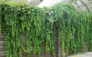 Вечнозеленые вьющиеся растения для живой изгороди