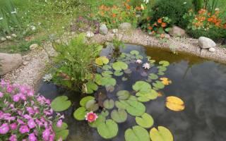 Водяная лилия в садовом пруду фото