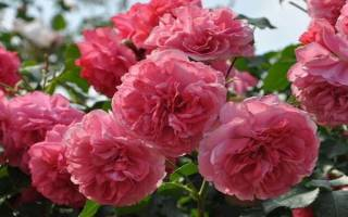 Розы садовые морозостойкие