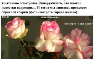 Розы с вывернутыми лепестками