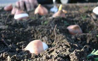 Почему принято сажать тюльпаны осенью
