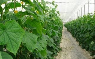 Посадка огурцов в теплице схема, расстояние, подготовка почвы