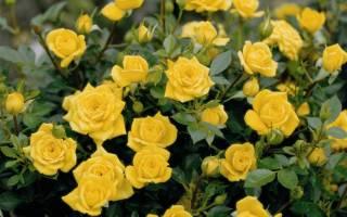 Роза миниатюрная оранжевая