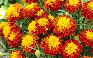 Коричневые цветы фото