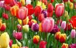 Как выглядят семена тюльпанов фото