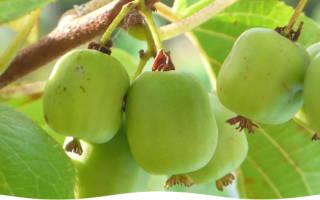 Актиния растение плодовое