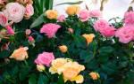 Розы домашние уход и выращивание