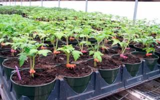 Секреты выращивания помидоров в теплице