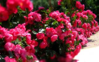 Посадка роз в тени