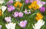 Какие же многолетние цветы выбрать