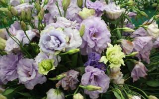 Ранункулюс – цветок похожий на розу