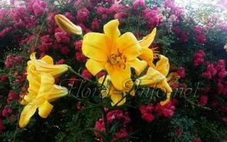 Как размножаются лилии садовые