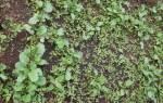 Однолетние злаковые сорняки перечень