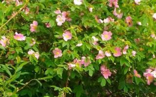 Укоренить черенки роз из букета