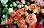 Картинки гвоздики цветы