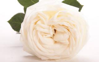 Роза высший свет фото и описание