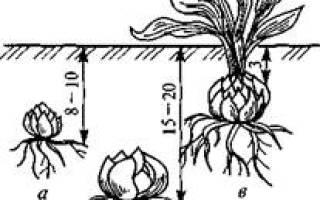 Луковичные цветы – общая характеристика культур