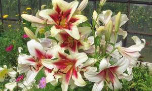 Когда пересаживать лилии после цветения