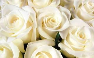 Роза значение цветка описание