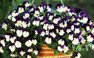 Виола выращивание цветов