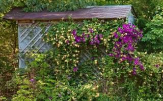 Плетистые цветы для сада фото и названия