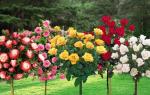 Штамбовые розы своими руками прививка и уход