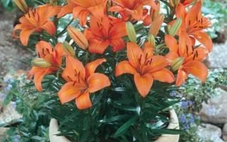 Выбор лилий для выращивания в помещении